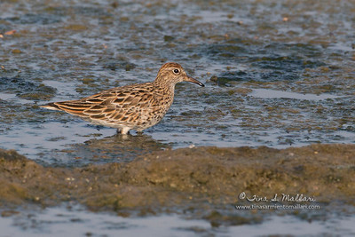 Long-toed Stint (Calidris subminuta)