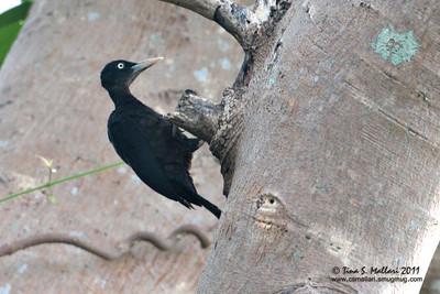 Sooty Woodpecker