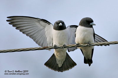 White-Breasted Wood-Swallow
