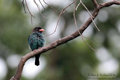 (Eurystomus orientalis) Dollarbird