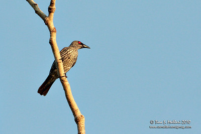 Asian Glossy Starling (Aplonis payanensis)