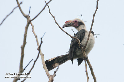 Luzon Hornbill (Penelopides manillae) Philippine Endemic