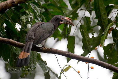 Luzon Hornbill (Penelopides manillae) Philippine Endemic (female)