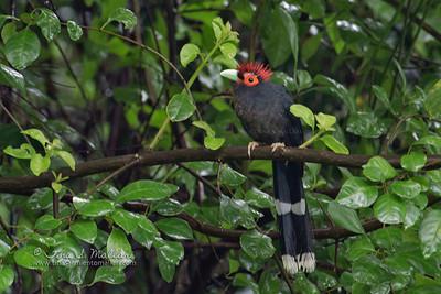 Red-Crested Malkoha (Phaenicophaeus superciliosus) Philippine endemic