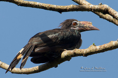 Luzon Hornbill (Penelopides manillae) a Philippine Endemic