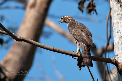 Philippine Hawk-Eagle (Endemic)