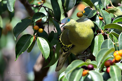Philippine Green Pigeon (Pompadour Green Pigeon)