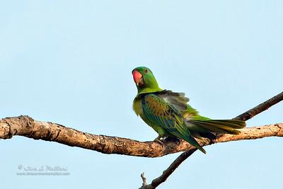 Blue Naped Parrot