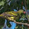 Philippine Green Pigeon (Pompadour Green Pigeon)