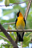 Narcissus Flycatcher (male)