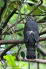 Philippine Hawk-Cuckoo (Philippine Endemic)