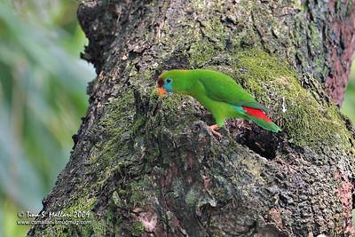 Colasisi (Loriculus Philippensis) Philippine Hanging Parrot (Philippine Endemic)