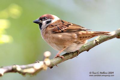 Eurasian Tree Sparrow Eurasian Tree Sparrow (Passer montanus)