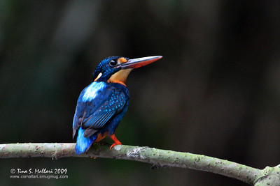 Indigo-banded Kingfisher (Alcedo cyanopecta) Philippine Endemic