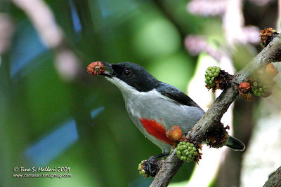 Red-keeled Flowerpecker  (Dicaeum australe australe) Philippine Endemic
