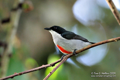 Red-keeled Flowerpecker  (Dicaeum australe australe) Philippine Endemic