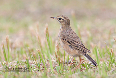 Richard's Pipit  (Anthus novaeseelandiae)
