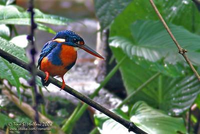 Indigo-banded Kingfisher (Alcedo cyanopecta)