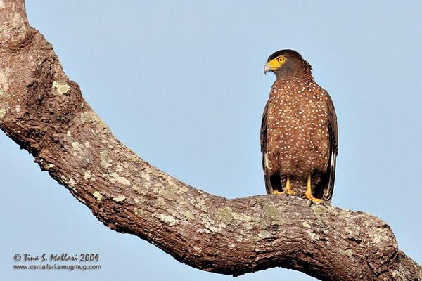 Philippine Serpent Eagle (Spilornis holospilus) Philippine Endemic