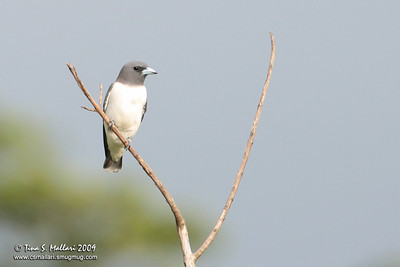 White Breasted Wood Swallow (Artamus leucorynchus)