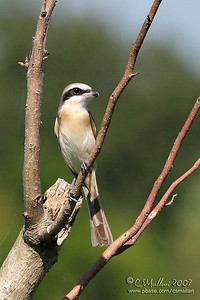 Long-Tailed Shrike (immature)