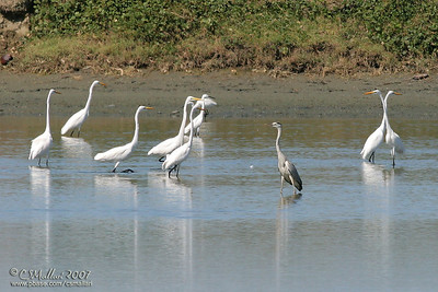 Egrets and a Grey Heron