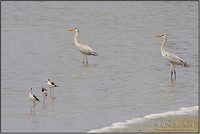Black-Winged Stilts and Grey Herons