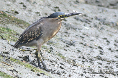 Little Heron (Butorides striatus)