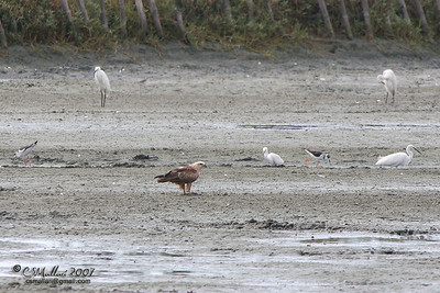Brahminy Kite w/ the Egrets and Stilts