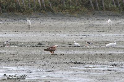 Brahminy Kite w/ the Egrets and Stilts
