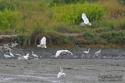 Egrets & Stilts