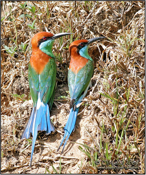Blue-throated Bee-eaters