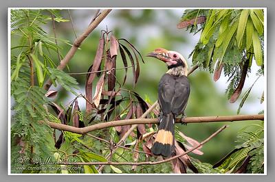 Tarictic Hornbill
