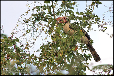 Luzon Hornbill (male)