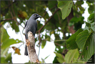 Bar-bellied Cuckoo-shrike (male)