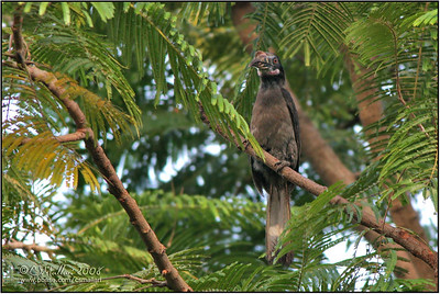Luzon Hornbill (female)