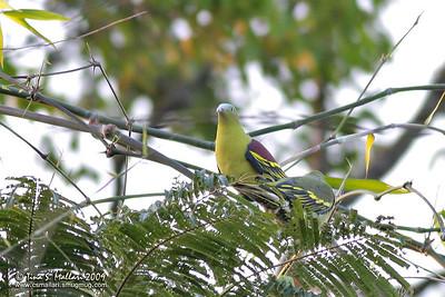 Pompadour Green-Pigeon (Treron pompadora)