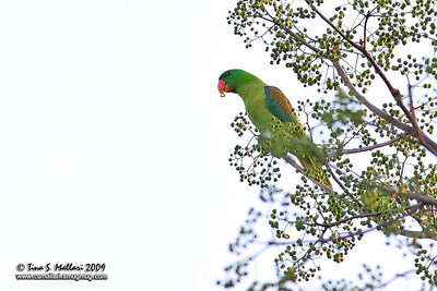 Blue-naped Parrot (Tanygnathus lucionensis) Philippine Endemic