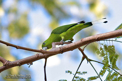 Green Racquet-Tail (Prioniturus luconensis) Philippine Endemic