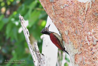 Greater Flameback (Chrysocolaptes lucidus haematribon) Endemic Race