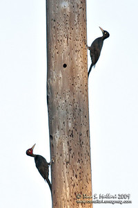 Sooty Woodpecker (Mulleripicus funebris) Philippine Endemic