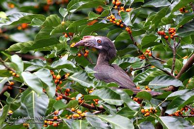 Luzon Hornbill (Penelopides manillae)