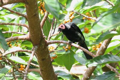 Coleto (Sarcops calvus)