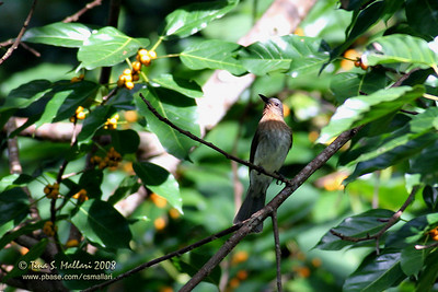 Philippine Bulbul (Hypsipetes philippinus)