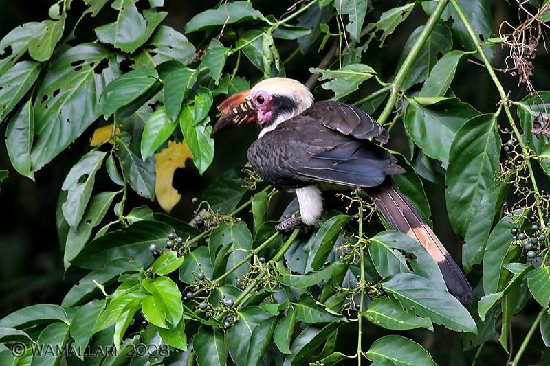 Luzon Hornbill (male)
