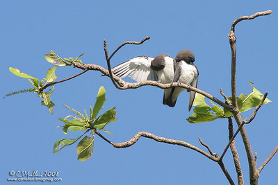 White-Breasted Wood Swallow