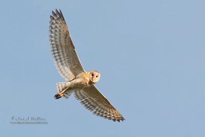 Grass Owl ( Tyto longimembris )