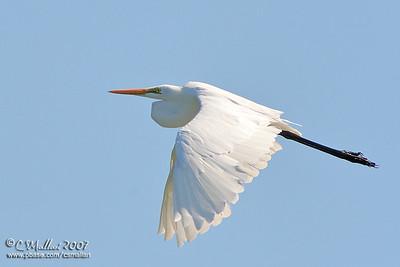 Great Egret (Egretta alba modesta)