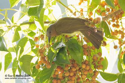 Philippine Bulbul (Hypsipetes philippinus) Philippine Endemic