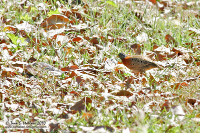 Spotted Buttonquail (Turnix ocellata) Philippine Endemic